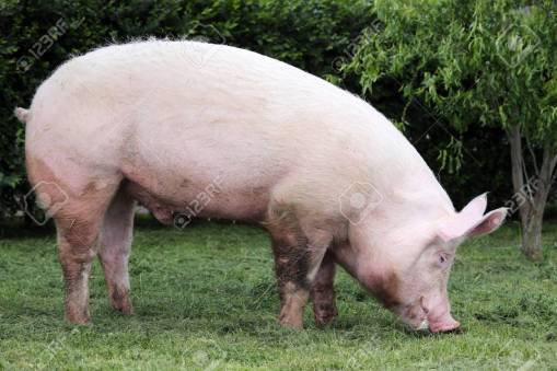 Domestic pink colored sow graze on pasture